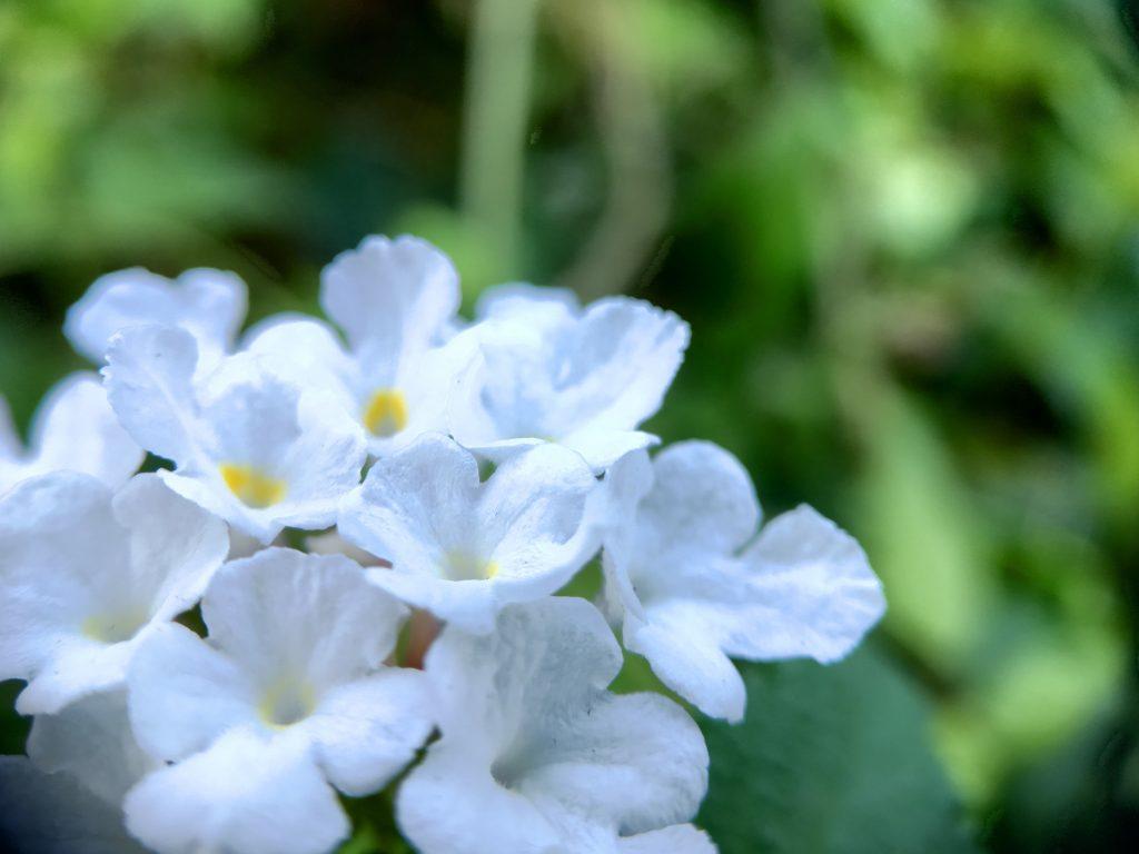 スマホにマクロレンズ装着して撮影した花