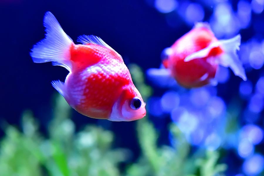 金魚の写真_水族館撮影セミナー