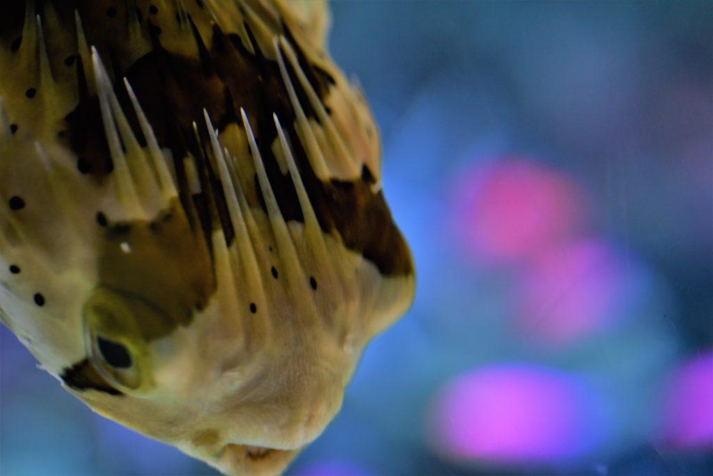 水族館ハリセンボンの写真